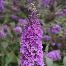 Buddleja 'Blue Chip' 'LO and BEHOLD' PBR