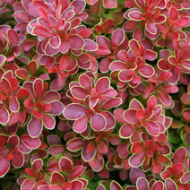 Berberis thunbergii 'Admiration' ®