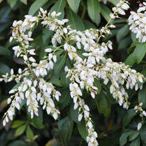 Pieris japonica 'White Pearl'