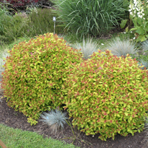 Spiraea japonica 'Magic Carpet' PBR (Sp. j. 'Walbuma')