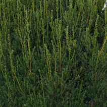 Taxus x media 'Hillii'