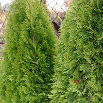 Thuja occidentalis 'Smaragd Witbont'