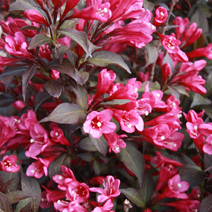 Weigela florida 'Minor Black' ® PBR